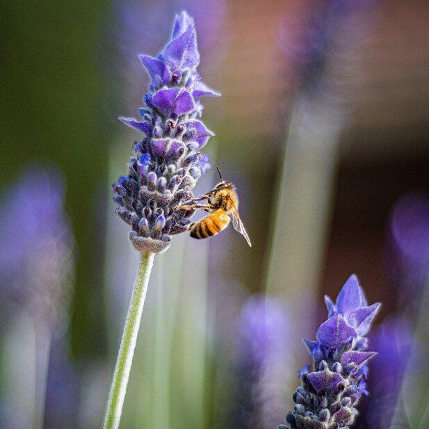 Bees on Lavendar